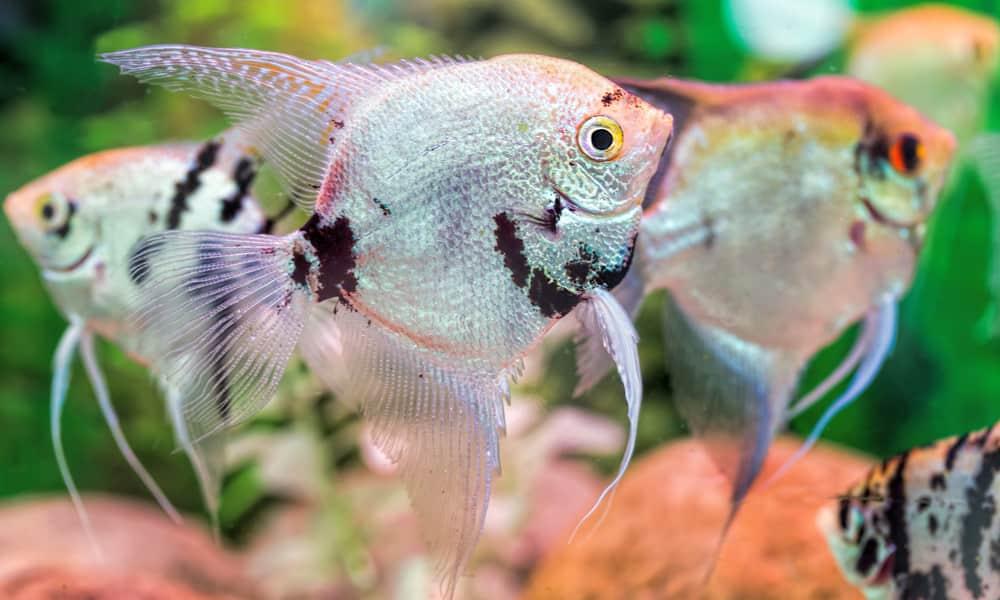 Angelfish to consider