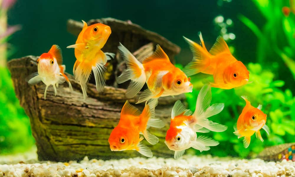 Goldfish are a great pet for beginners