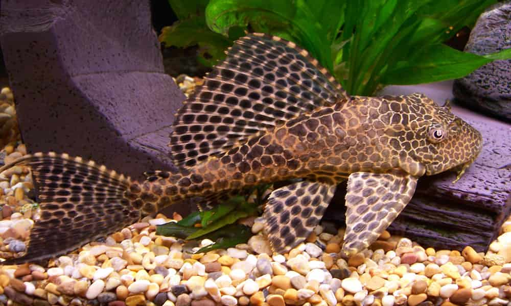 The Bristlenose Pleco is a freshwater fish