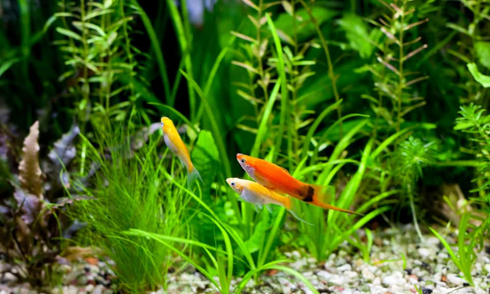 The Swordtail can be kept with its own species