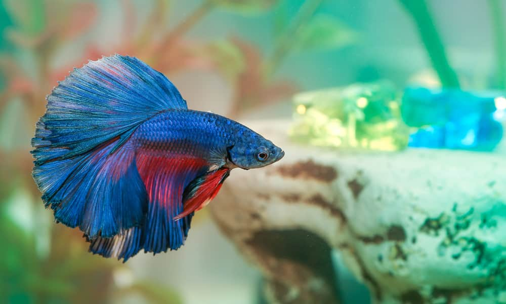 They are separated because male Bettas