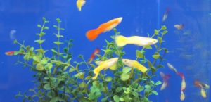Guppies Care Guide
