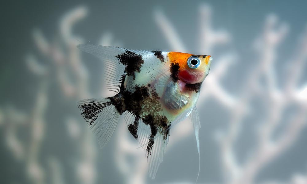 Breeding Freshwater Angelfish