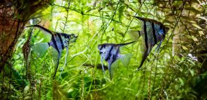 Freshwater Angelfish Care Guide The Queen of the Aquarium