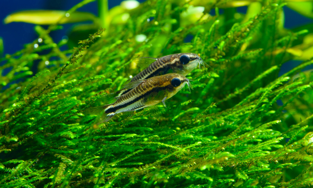 Pygmy Cory Fish