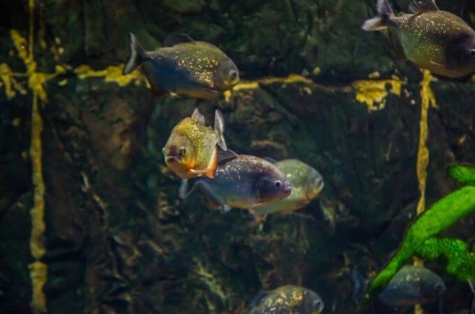 What is Brown Algae