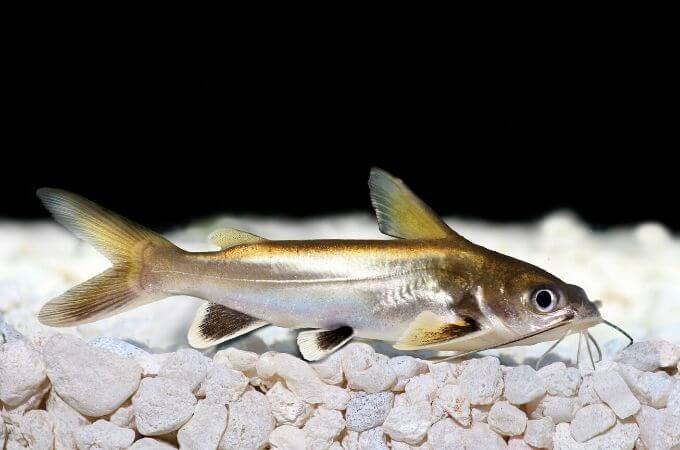 Silver Apollo Shark