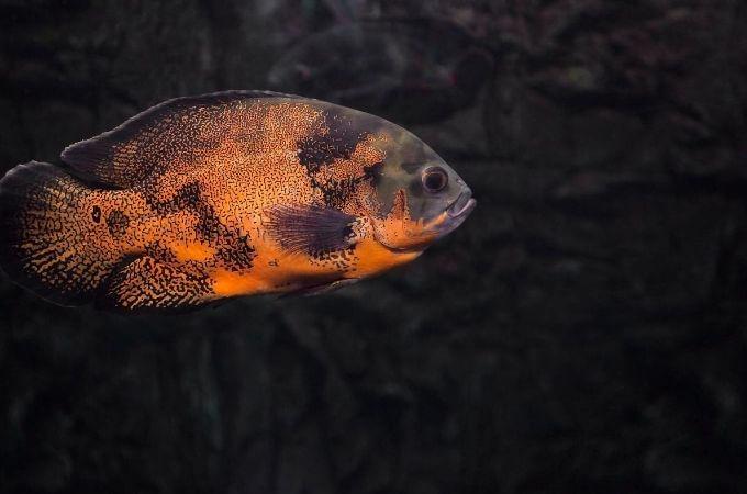Freshwater Oscar Fish