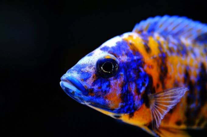 How to care for African Cichlids