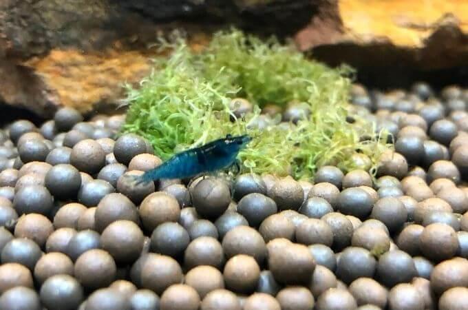 Cherry Shrimp Blue