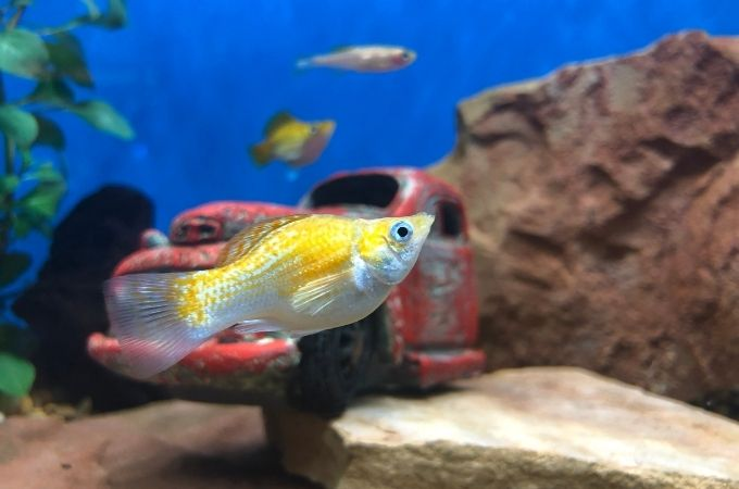 Common Molly Fish.jpg