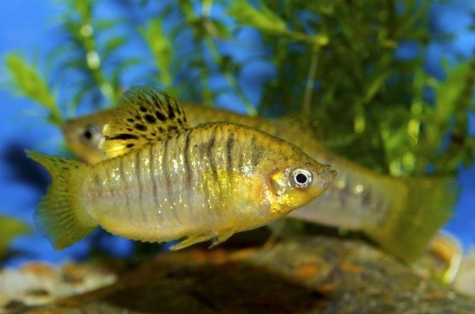 Golden Molly Fish