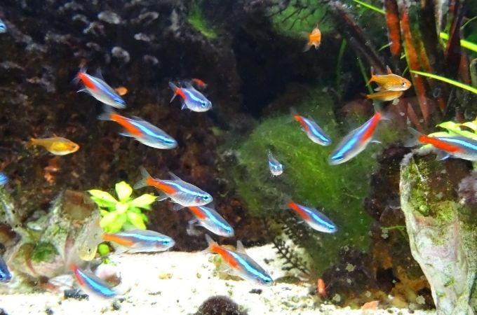 Neon Tetra Fish Guide