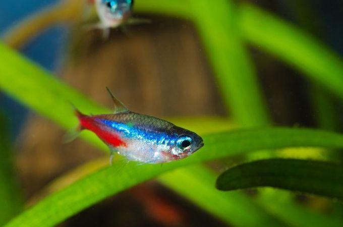 Neon Tetra Fish