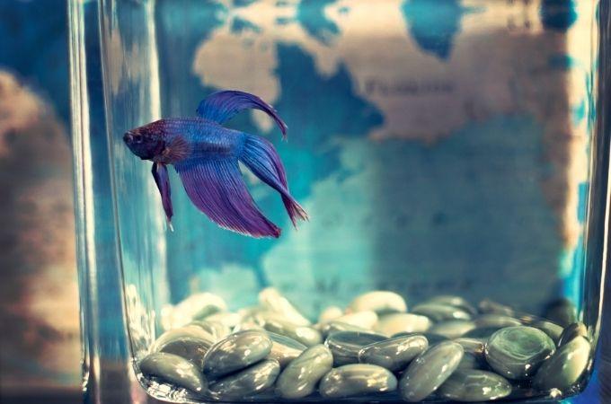 Blue Betta Fish